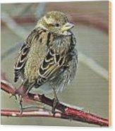 Sparrow IIi Wood Print