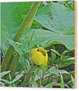 Spatterdock Wild Yellow Water Lily - Nuphar Lutea Wood Print
