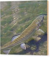 Speckled Trout Wood Print