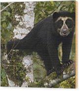 Spectacled Bear Tremarctos Ornatus Cub Wood Print