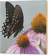 Spicebush Butterfly On Echinacea Wood Print