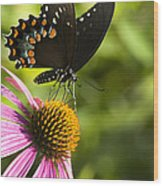 Spicebush Swallowtail Butterfly And Coneflower Wood Print
