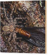 Spider Eats Termite Wood Print by Dant� Fenolio