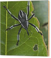 Spider Weevil Papua New Guinea Wood Print