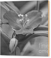 Spiderwort In Black Wood Print