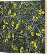 Spiny Broom (calicotome Villosa) Wood Print