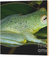Spiny Glass Frog Wood Print