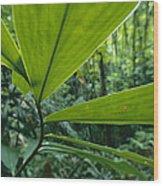 Spiral Ginger Costus Pulverulentus Wood Print