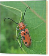 Spotted Asparagus Beetle - Crioceris Duodecimpunctata Wood Print
