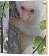 Spotted Cuscus Phalanger Maculatus Wood Print