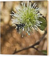 Spotted Moth On Fothergilla Wood Print
