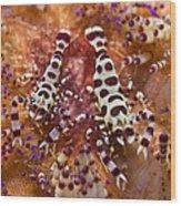 Spotted Periclimenes Colemani Shrimp Wood Print