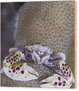 Spotted Porcelain Crab Feeding Wood Print