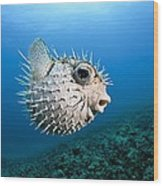 Spotted Porcupinefish Wood Print