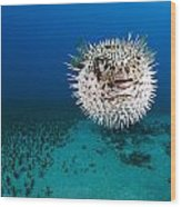 Spotted Porcupinefish II Wood Print by Dave Fleetham