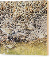Spotted Sandpiper At The Canal Wood Print