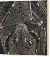 Spotted-winged Fruit Bat Balionycteris Wood Print