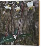Spotted Wintergreen Plants Wood Print
