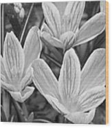 Spring Crocus In Black And White Wood Print