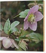 Spring Hellabore Wood Print