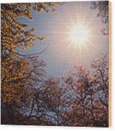 Spring Sunlight Over Cherry Blossoms  Wood Print by Vivienne Gucwa