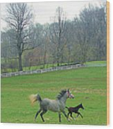 Springs First Prance Wood Print by Heather  Boyd
