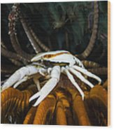 Squat Lobster Carrying Eggs, Indonesia Wood Print