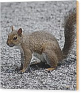 Squirrel On A Road Wood Print