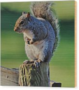Squirrel Posing On Fence Post Posing - C9243c Wood Print