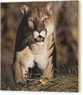 Stalking Mountain Lion Wood Print