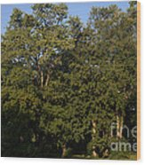 Stand Of Sugar Maple Trees Wood Print