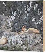Stellar Sea Lion's Roar Wood Print