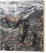 Steller Sea Lion - 0010 Wood Print