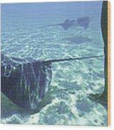 Sting Ray World Near The Nw Coast Wood Print