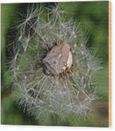 Stink Bug On Dandelion Seed Head Wood Print