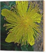 St.johns Wart Bloom Wood Print