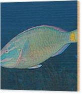 Stoplight Parrotfish On Caribbean Reef Wood Print