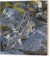 Straight Tailed Chipmunk On A Rock Wood Print