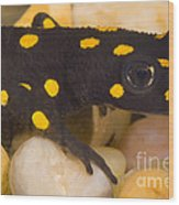 Strauchs Spotted Newt Wood Print