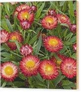 Strawflower Helichrysum Sp Red Variety Wood Print