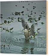 Stretching His Wings Wood Print