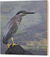 Striated Heron Wood Print