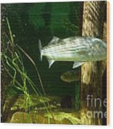 Striped Bass In Aquarium Tank On Cape Cod Wood Print