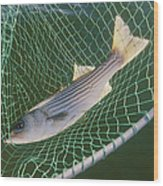 Striped Bass In Net.  The Fish Wood Print