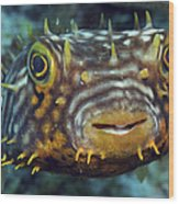 Striped Burrfish On Caribbean Reef Wood Print