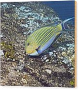 Striped Surgeonfish Wood Print by Georgette Douwma