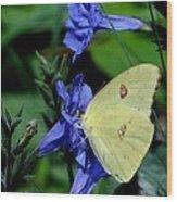 Sulphur Butterfly On Wildflower Wood Print