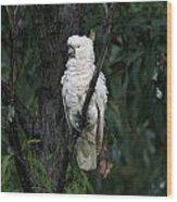 Sulphur Crested Cockatoo  Wood Print