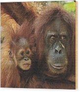 Sumatran Orangutan Pongo Abelii Mother Wood Print