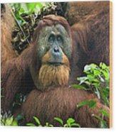 Sumatran Orangutan Pongo Abelii Wood Print
